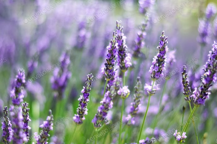 Macro of blooming violet lavender flowers. Provence nature background. Lavender field in sunlight