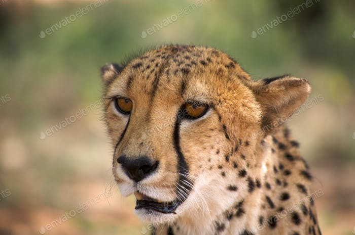 Gepard in Harnas