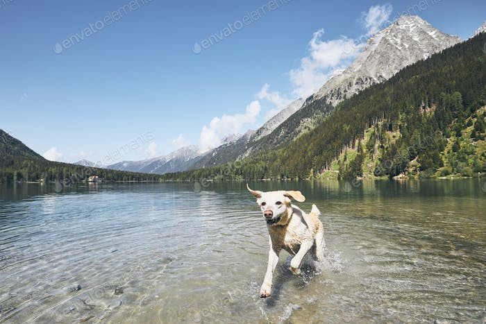 Happy dog in mountains