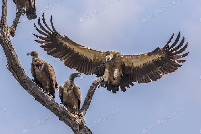 White backed vulture landing in tree