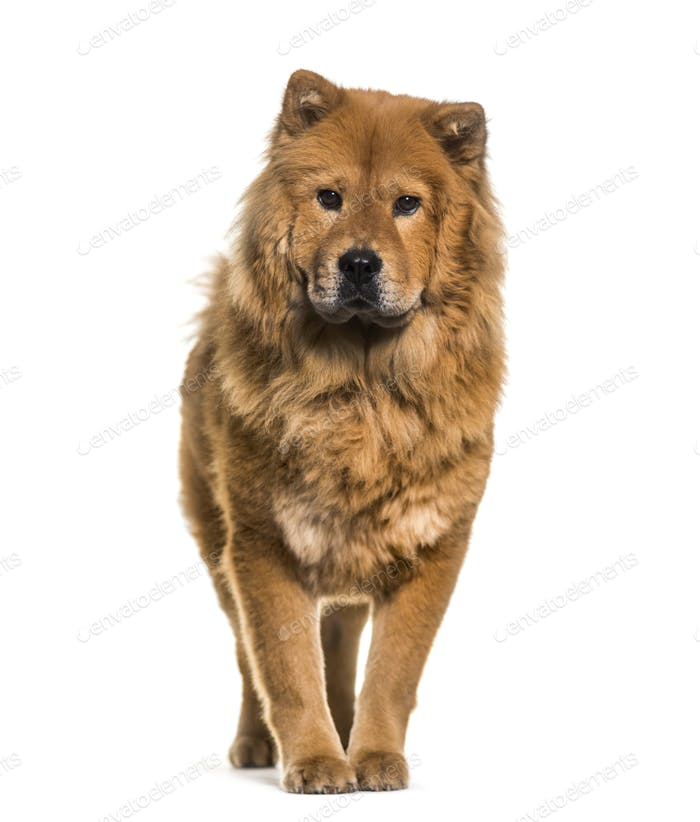Chow-chow dog standing, cut out