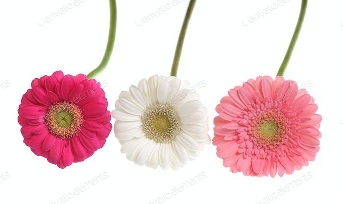 Gerbera Blumen isoliert auf weiß.