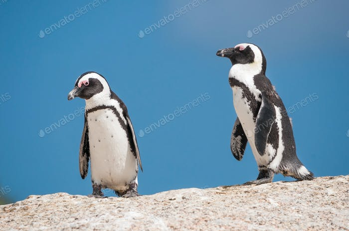 African penguins, also known as jackass penguins or black-footed
