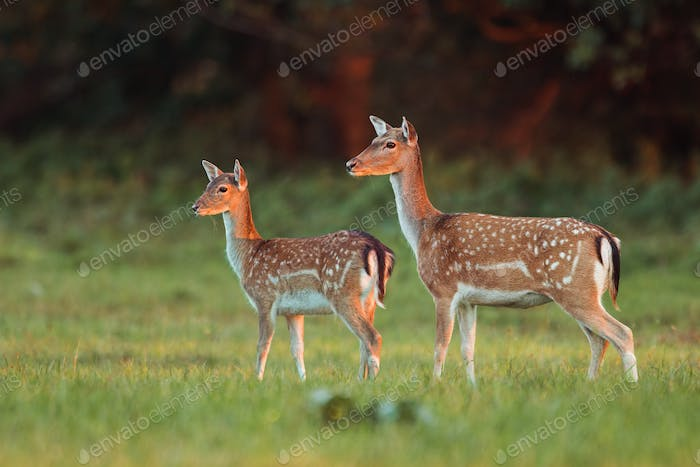 Doe and fawn fallow deer, dama dama, in autumn colors in last sunrays