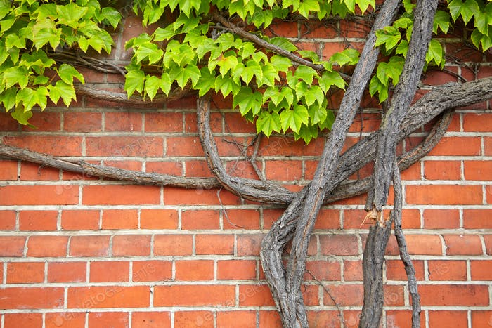 Vine growing on an old brick wall