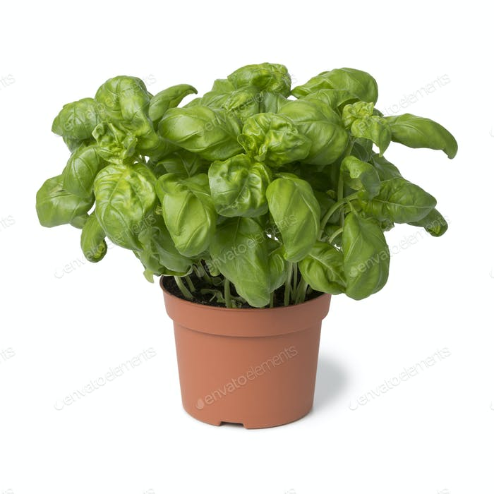 Brown plastic pot with fresh basil