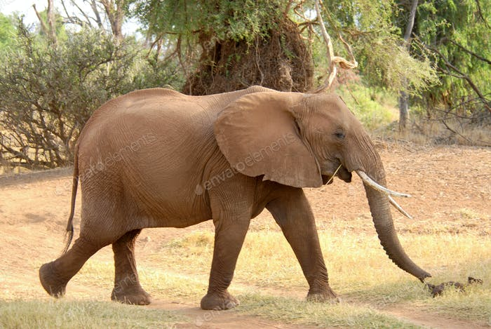 Walking african elephant