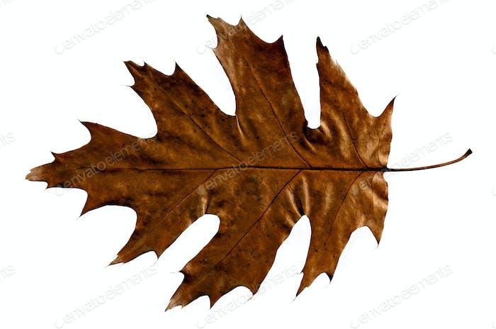 Herbst Quercus Eichenblatt