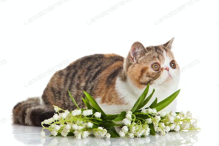 Exotic shorthair cat.