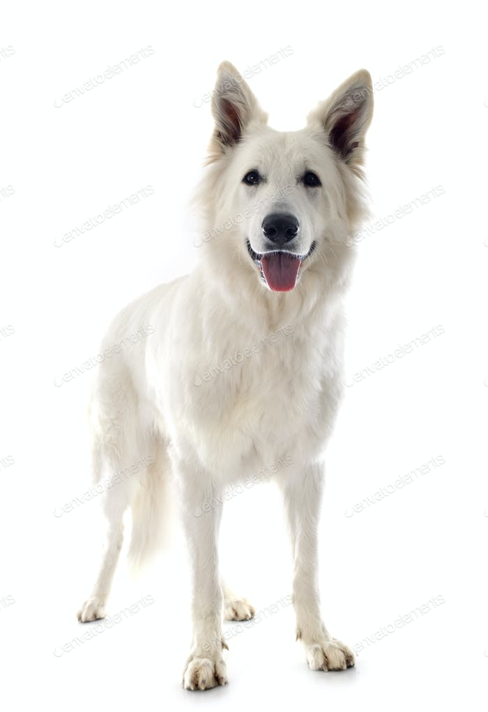 Swiss shepherd