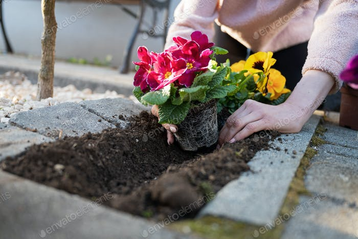 Woman planting pansy flowers in home garden