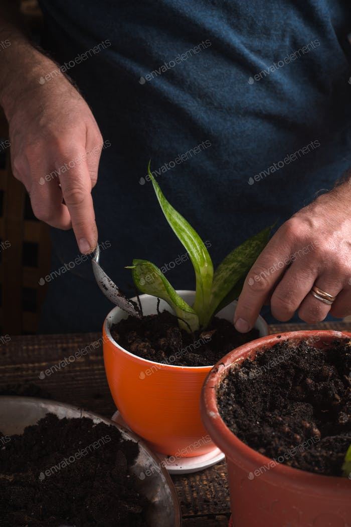 Man plants indoor flower in orange pot