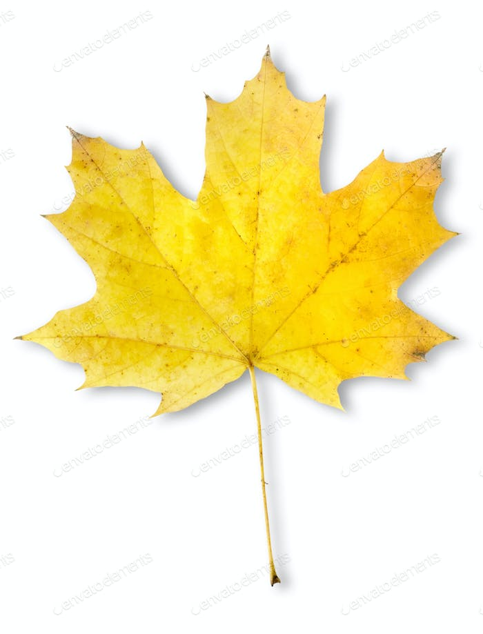 Autumn maple leaf isolated
