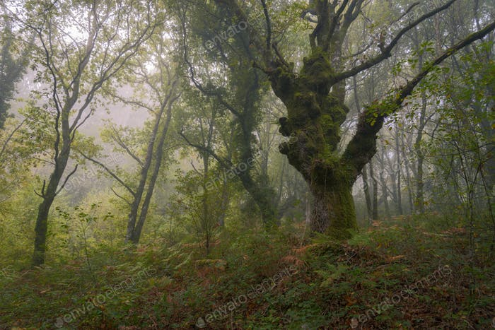 Mystical scene in a misty forest