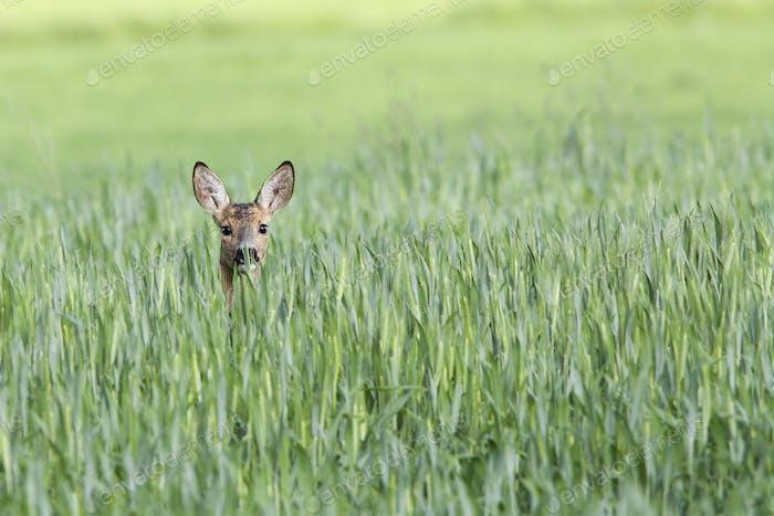 Roe-deer hidden in the grass