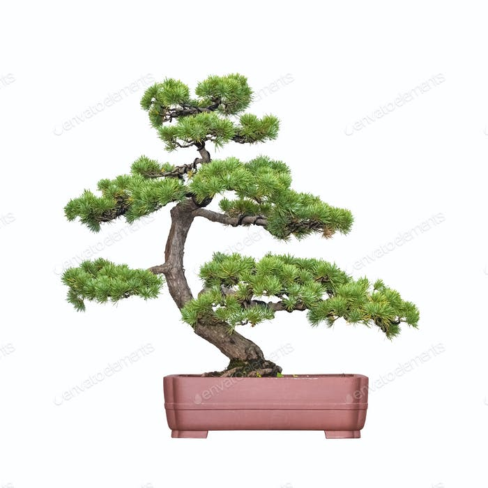 Bonsai Baum der Kiefer