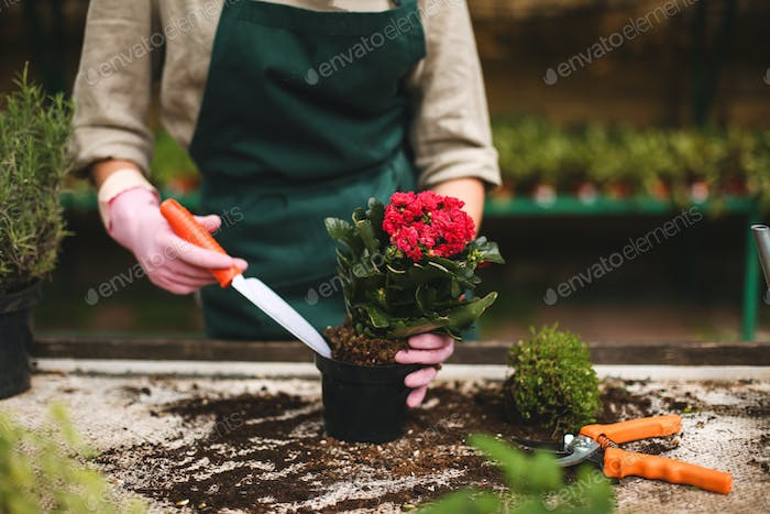 Woman hands in pink gloves using little garden shovel while planting a beautiful flower in pot