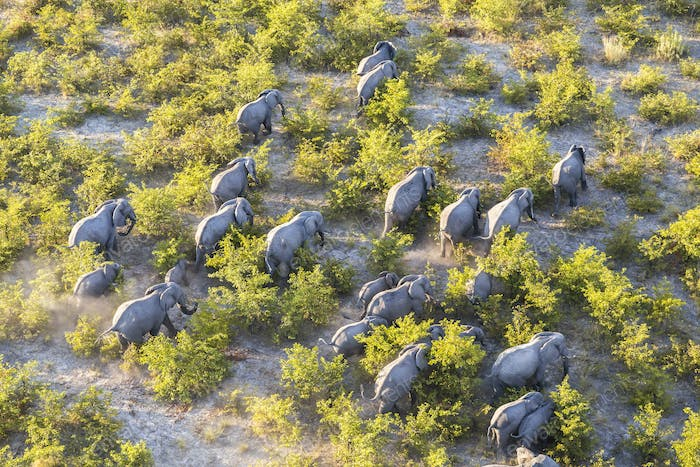 Aerial view of herd of African Elephants walking through the bush in lush delta.