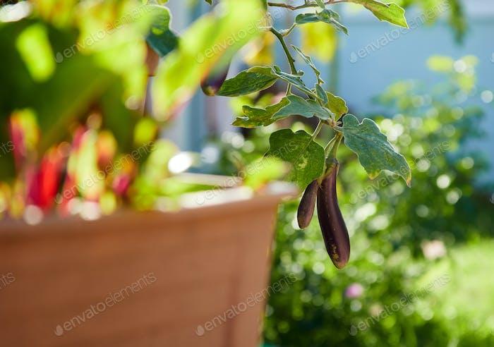 Eggplant in the kitchen garden