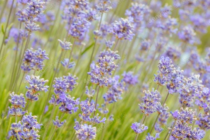 Lavender Field in Wandin Victoria Australia