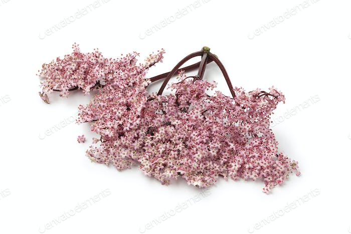 Twig of pink elderberry blossom