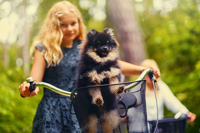 Blond girl on a bicycle and a Spitz dog in a basket.