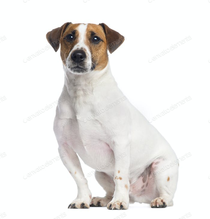 Jack Russell Terrier sitting, looking up, 2 years old, isolated on white