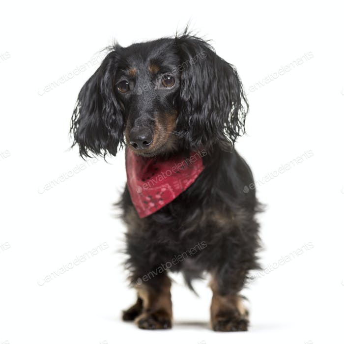 Dachshund dog standing, cut out