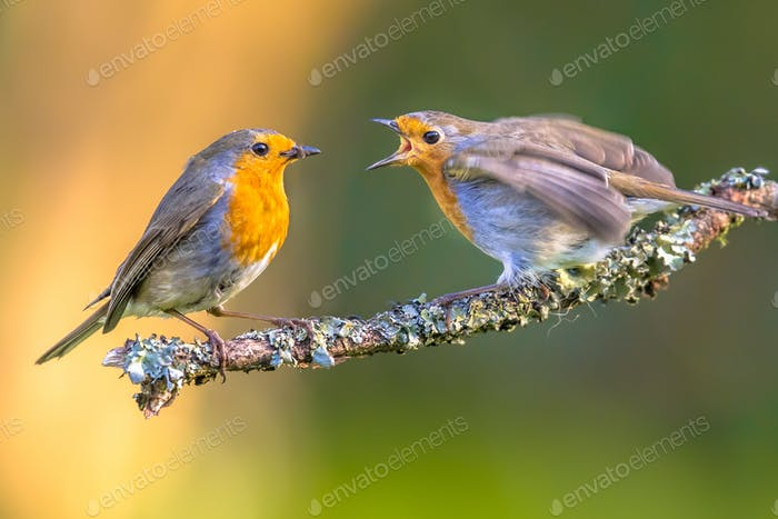 Mother Robin bird feeding young