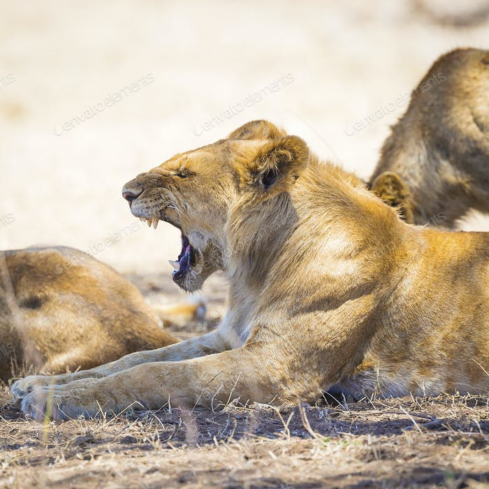 Yawning young male lion rests in Serengeti