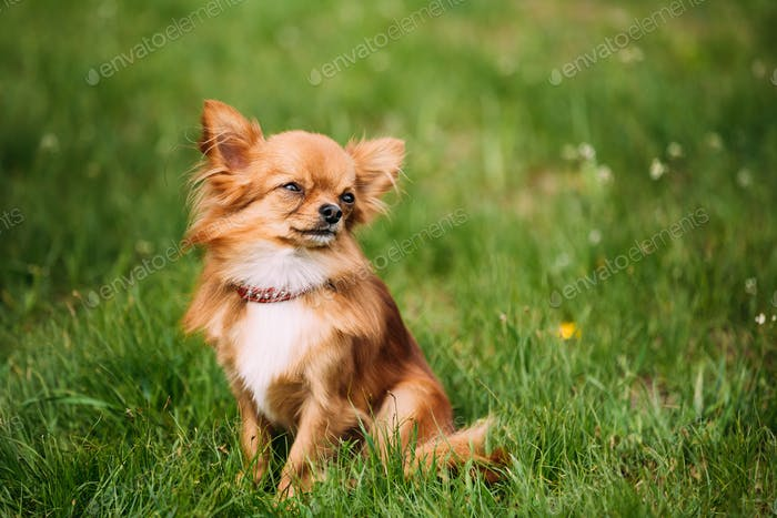 Schöne Lustige junge rot braun und weiß Tiny Chihuahua Hund Si