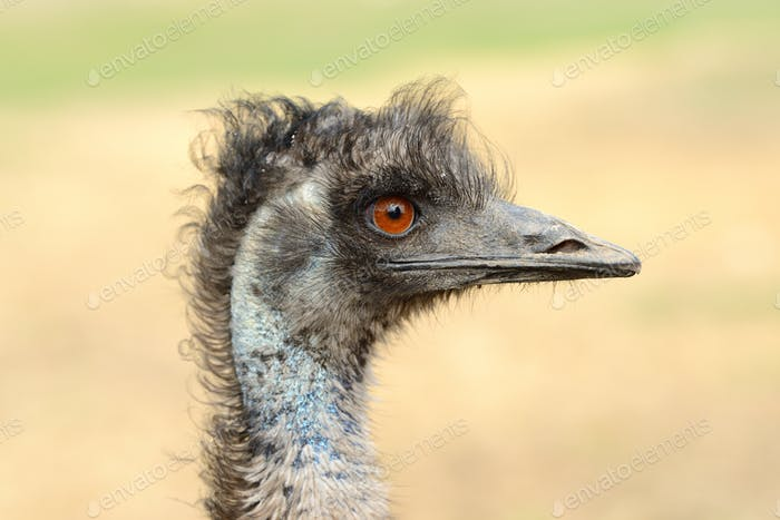 Close ostrich bird in nature