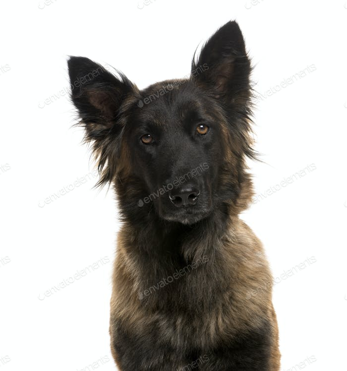 Close-up of a German Shepherd in front of a white background