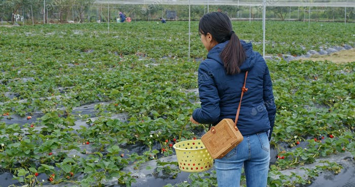 Woman pick strawberry in the field
