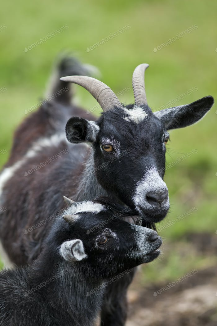 Young Goat with Mother