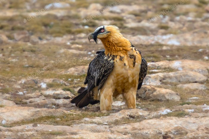 Bearded vulture on ground
