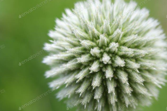 Globe thistle flower close up