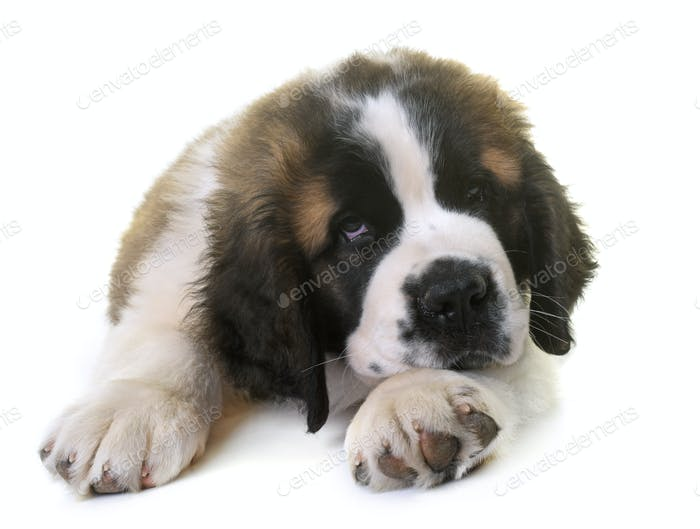 puppy saint bernard
