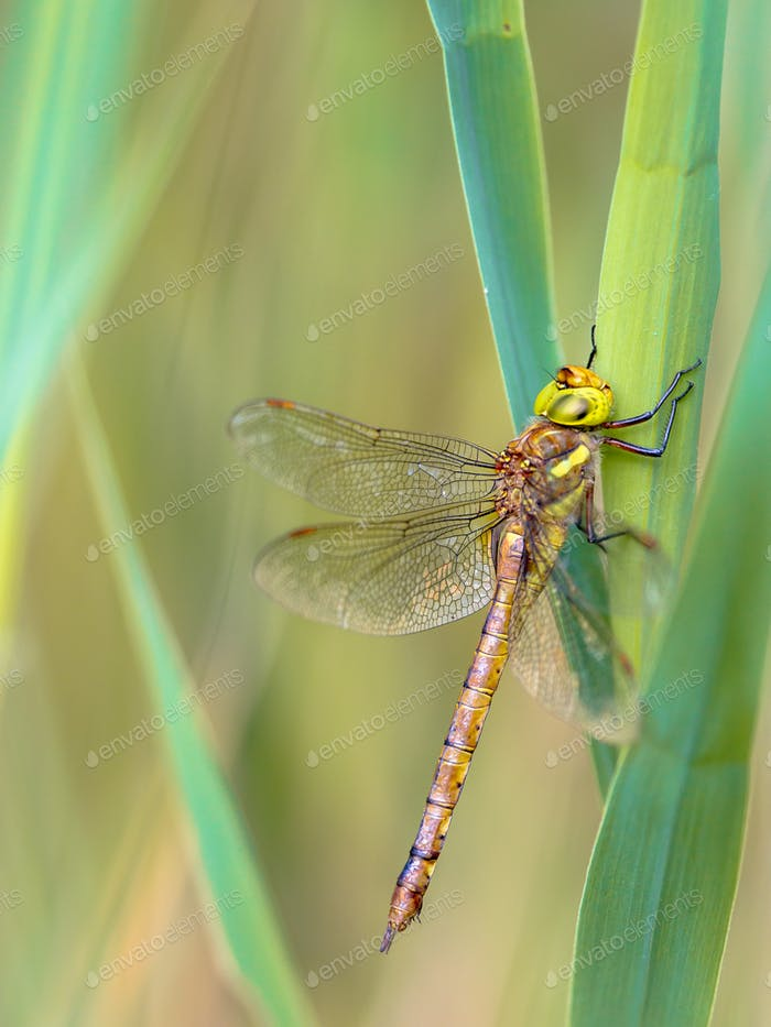Green eyed hawker resting  on reed