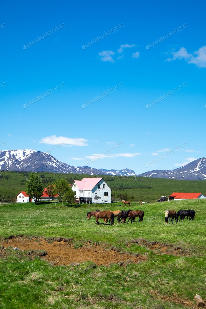 Horses on a farm in Iceland