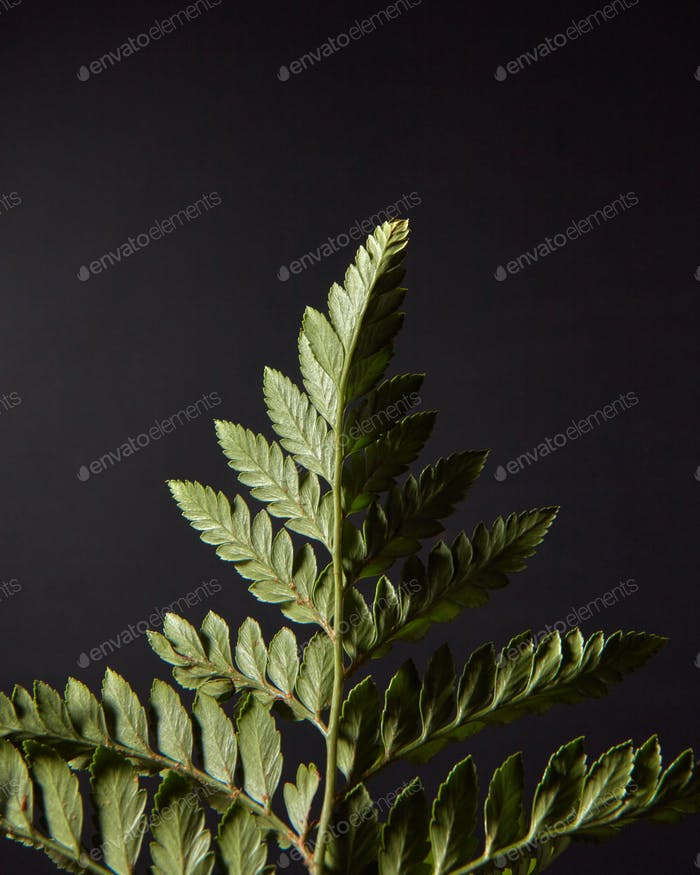 Reverse side of green fern with spores on a black background with copy space. Foliage layout