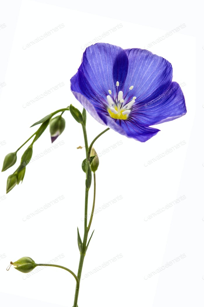 Blue flower of flax, isolated on white background