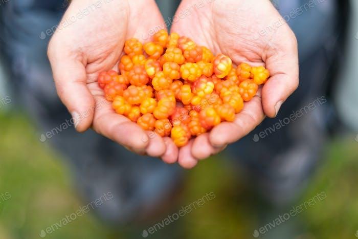 Caucasian man holding fresh gathered ripe cloud berries in hands.
