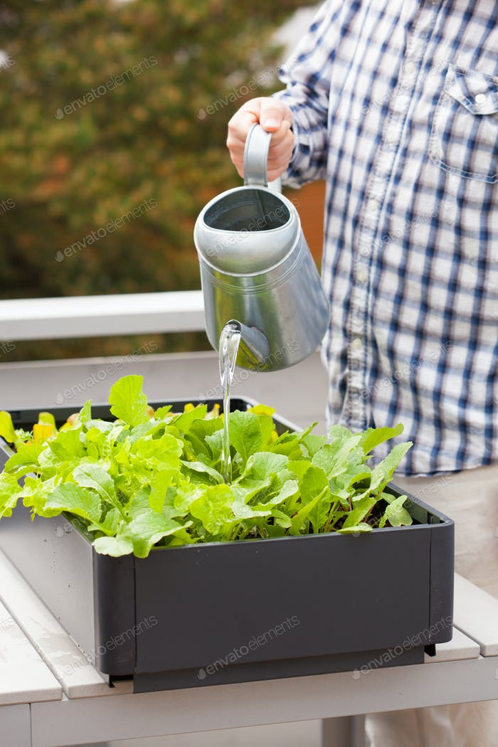 man gardener watering vegetable garden in container on balcony