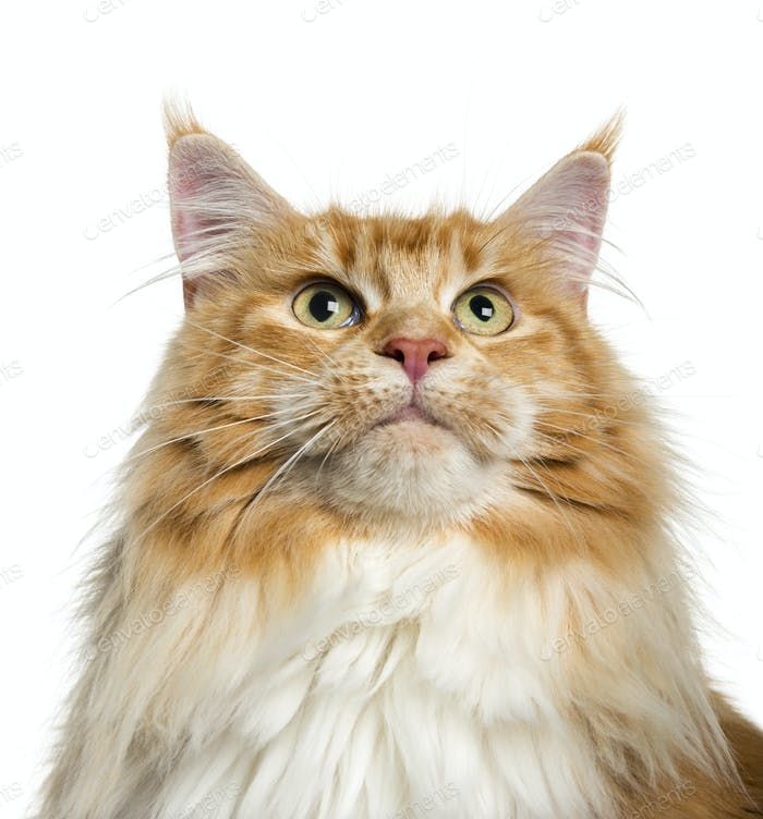 Maine Coon looking up (3 years old)