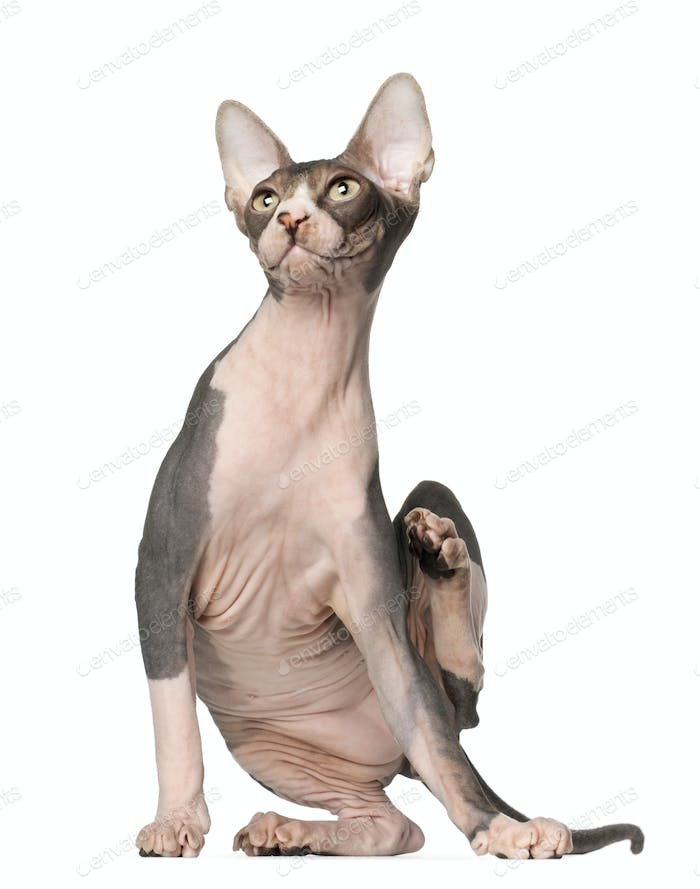 Sphynx cat, 7 months old, sitting in front of white background