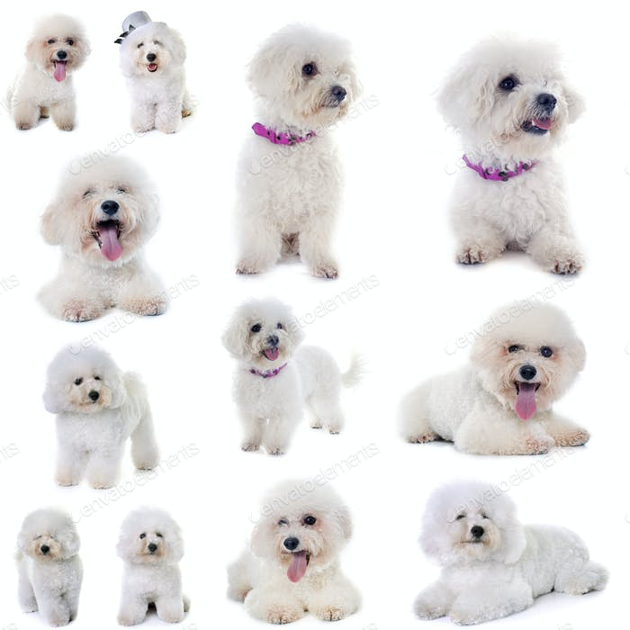 group of bichon frise