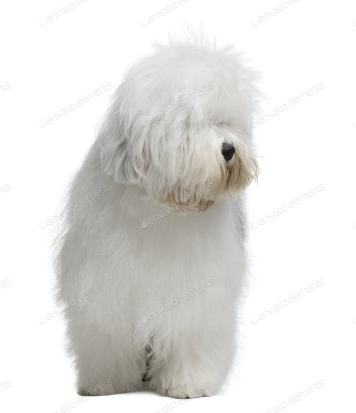 Old English Sheepdog, 3 Years old, standing in front of white background