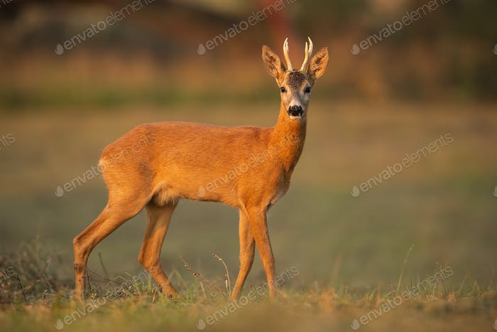 Roe deer buck, capreolus capreolus, in natural peaceful environment lit by evening light
