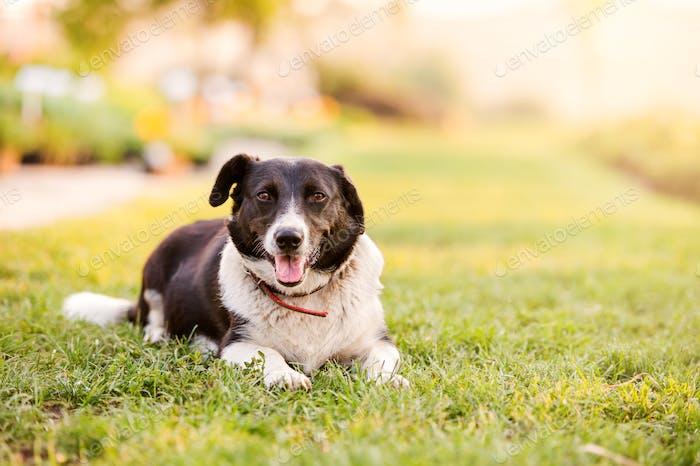 Glücklicher Hund liegend im grünen Gras mit ausziehenden Pfoten